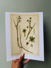 Load image into Gallery viewer, Vintage Style Botanic Print
