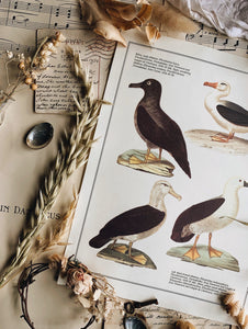 Vintage Albatross Bird Illustration