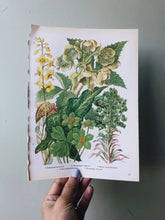 Load image into Gallery viewer, Vintage 1960s Euphorbia Wulfeni Bookplate