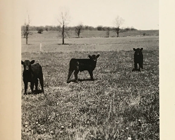 The Triplets Real Vintage Snapshot of 3 Baby Calves - 1950s Cow Found Photograph / Vernacular Photography - Black & White Farm Animal Photo