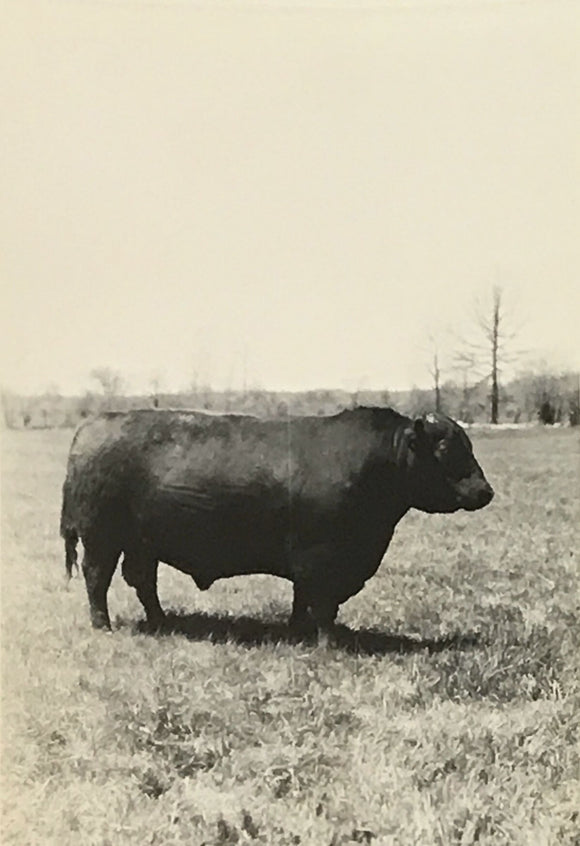 Big Fat Moo Cow on a Farm Real Vintage Snapshot - 1950s Rural Living Vernacular Photography - Black & White Animal Photo of Cow at Pasture