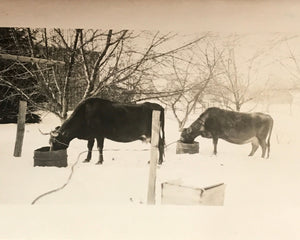 Real Vintage Snapshot of Two Feeding Cows in Winter Snow - 1950s Found Photograph / Vernacular Photography - Black & White Farm Animal Photo