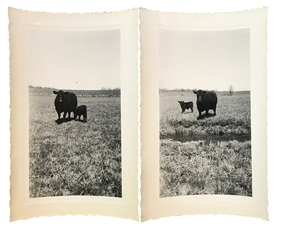 A Mother's Love Two Real Vintage Farm Animal Photo Snapshots of Mommy Cow & Baby Calf - 1950s Found Photograph Pair / Vernacular Photography