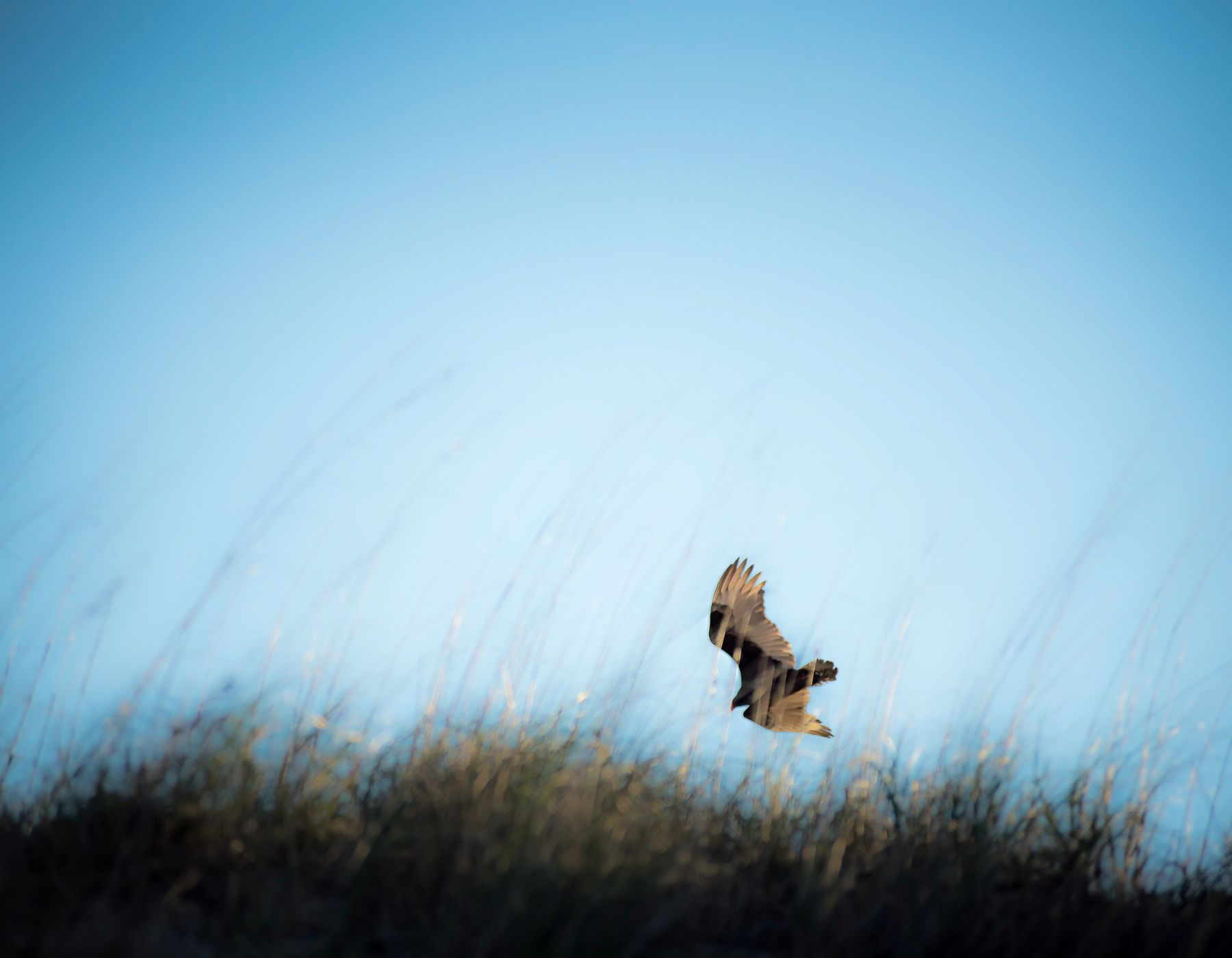 An osprey flies over the dunes and sea oats of the beaches on the Outer Banks.