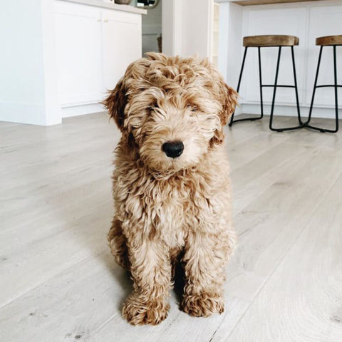 miniature golden doodle sitting down in the living room