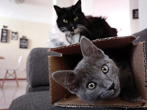 cats in a box