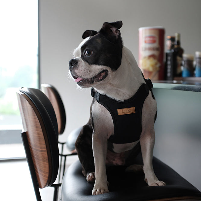 Boston Terrier wearing Charlie's backyard comfort harness