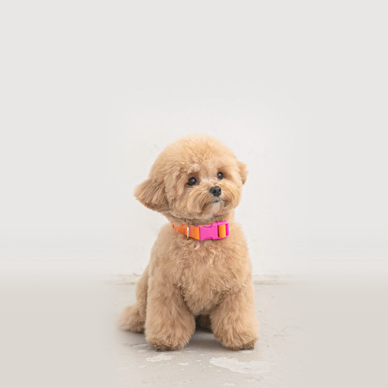 maltipoo wearing Candy Crayon Dog Collar in orange