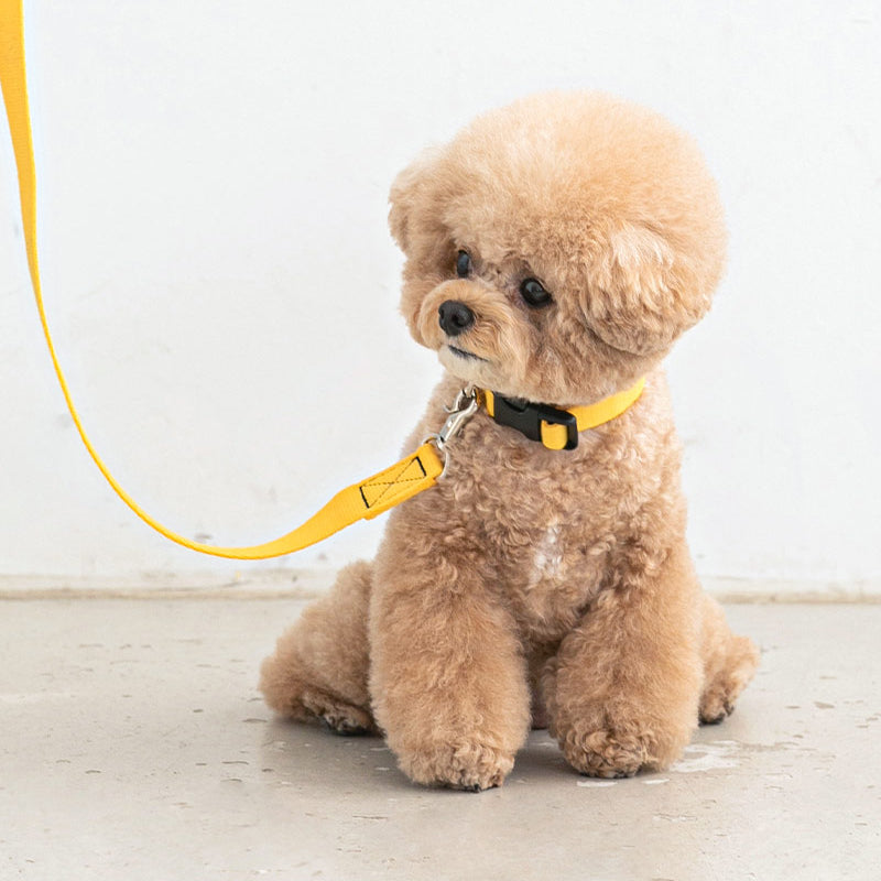 maltipoo wearing Candy Crayon Dog Collar in yellow