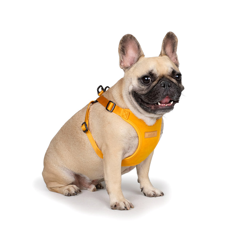 Frenchie puppy wearing Charlie's backyard comfort dog harness