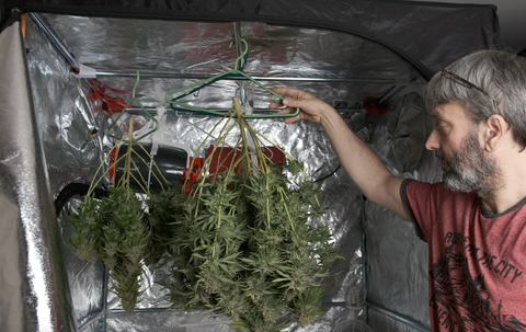 drying-cannabis-plant