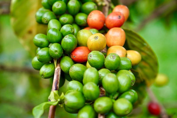 Celebrating Kenya Coffee Beans