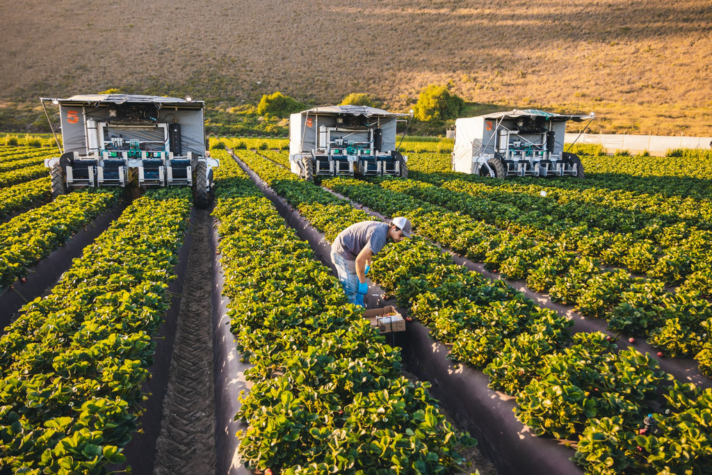 It's a misty morning near Salinas, California and the advanced.farm TX harvester—a lightweight, driverless tractor covered in canvas—is picking strawberrie