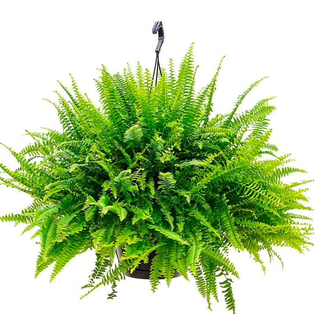 Boston Fern - Nephrolepis 'Green Lady'