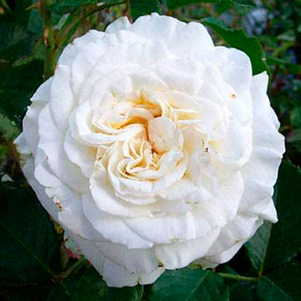 Diamond Wedding Rose Bush