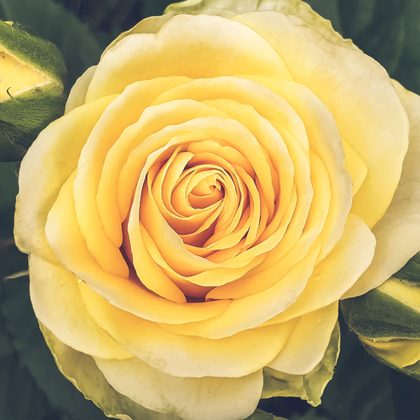 Golden Wedding Rose Bush