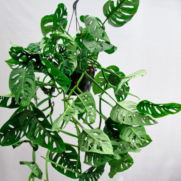 Monstera Monkey Leaf