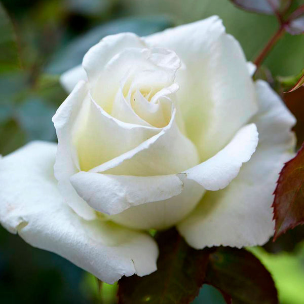 Silver Wedding Rose Bush