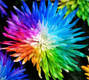 Hybrid Rainbow Chrysanthemum Flowers