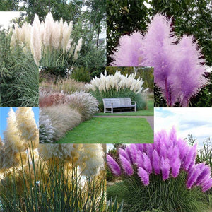 Pampas Grass - Cortaderia Selloana (200 seeds)