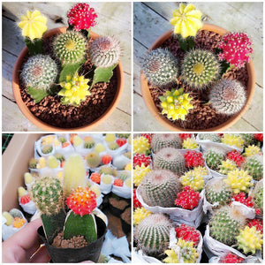 Succulent Cactus Mix - 100 Seeds