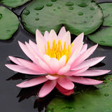 Mix Lotus flower - 10 seeds