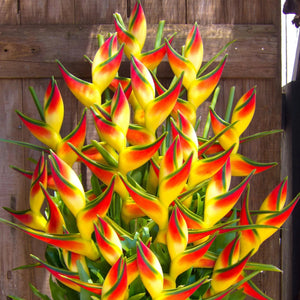 Heliconia and Bird of Paradise Strelitzia Reginae Flower Plant - 200 Seeds