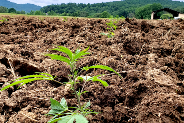 Hot or Not? How THC Levels Can Make Your Crop Go from Good to Gone