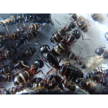 Load image into Gallery viewer, Camponotus herculeanus - Canada Ant Colony
