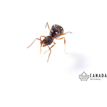 Load image into Gallery viewer, Aphaenogaster picea (Pitch-Black Collared Ant) - Canada Ant Colony
