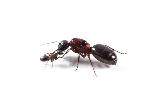 Camponotus novaeboracensis (New York Carpenter Ant) - Canada Ant Colony