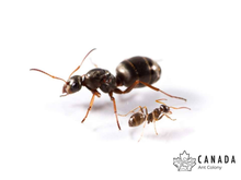 Load image into Gallery viewer, Formica montana (Prairie Field Ant) - Canada Ant Colony