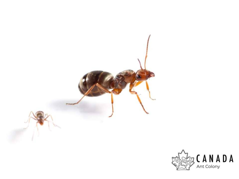Formica pacifica (Pacific Field Ant) - Canada Ant Colony