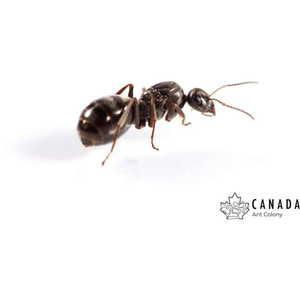 Formica podzolica/subsericea/argentea (Silky Field Ant) - Canada Ant Colony