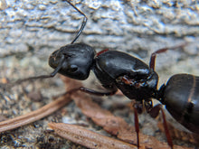 Load image into Gallery viewer, Camponotus modoc (Western Carpenter Ant) - Canada Ant Colony