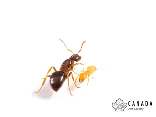 Lasius aphidcola (Shaded Fuzzy Ant) - Canada Ant Colony