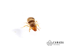 Load image into Gallery viewer, Lasius brevicorne/nearcticus (Short-horned Meadow Ant/ New World Fuzzy Yellow Ant) - Canada Ant Colony