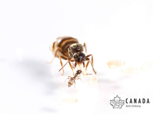 Load image into Gallery viewer, Lasius neoniger/pallitarsis