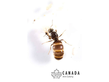 Load image into Gallery viewer, Lasius neoniger/pallitarsis - Canada Ant Colony