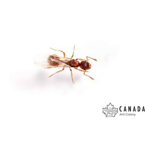 Myrmica alaskensis (Alaskan Droptail Ant) - Canada Ant Colony