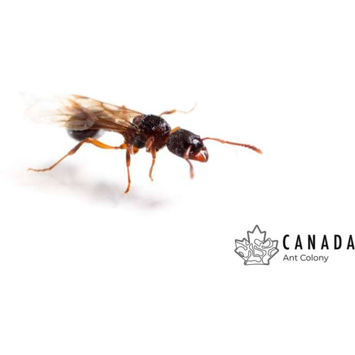Myrmica incompleta (Incomplete Droptail Ant) - Canada Ant Colony