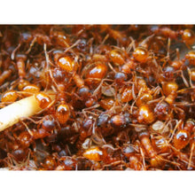 Load image into Gallery viewer, Myrmica rubra (European Fire Ant) - Canada Ant Colony