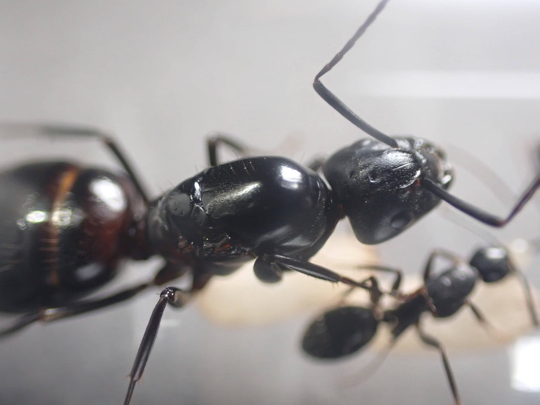 Camponotus vicinus (Bicolored Carpenter Ant) - Canada Ant Colony