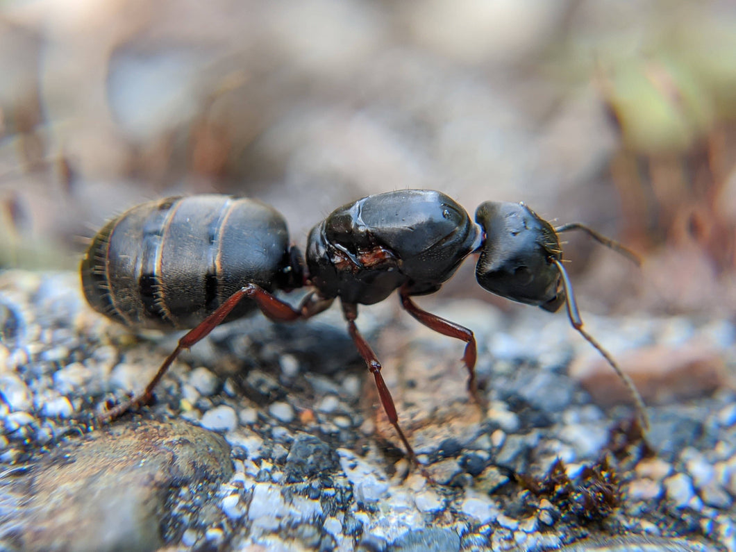 Camponotus modoc (Western Carpenter Ant) - Canada Ant Colony