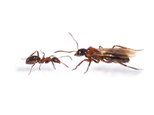 Load image into Gallery viewer, Formica ulkei (Ulkei's Field Ant) - Canada Ant Colony
