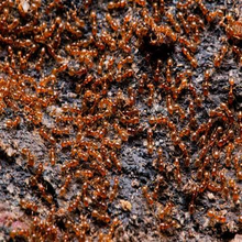 Load image into Gallery viewer, Solenopsis molesta (Thief Ant) - Canada Ant Colony