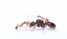 Load image into Gallery viewer, Aphaenogaster occidentalis (Western Collared Ant)
