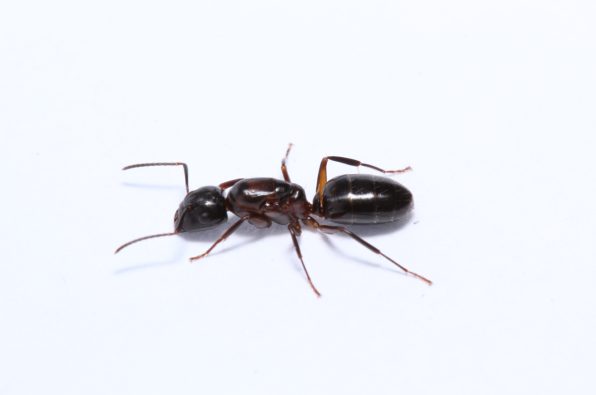 Camponotus nearticus/caryae (Smaller Carpenter Ant/Hickory Carpenter Ant)