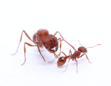 Load image into Gallery viewer, Pogonomyrmex occidentalis