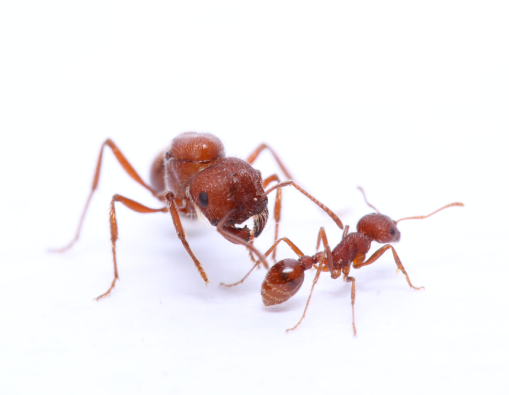 Pogonomyrmex occidentalis